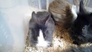 lion heads for sale baby rabbits for sale mini cross mini lion heads in