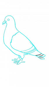 draw pigeon birds animals easy step step drawing