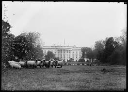 the history blog blog archive the sheep of the white house