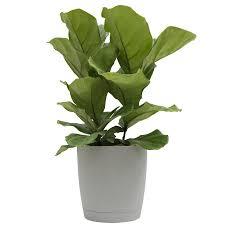 Sweet Flag Herb Shop Plants Bulbs U0026 Seeds At Lowes Com