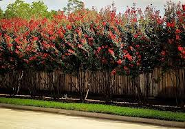 buy rocket crape myrtle trees the tree center