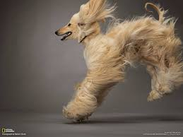 afghan hound weight afghan hound the king of all dog adogbreeds com
