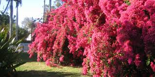 native plant nursery fort myers inventing your garden how to care for bougainvilleas