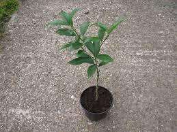 file fortunella margarita small tree jpg wikimedia commons