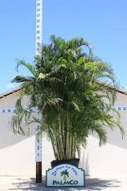 areca palm dypsis lutescens palmco wholesale palms florida