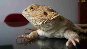 bearded dragon lizard cute geborneo club geborneo club