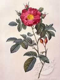 více než 25 nejlepších nápadů na pinterestu na téma wild rose