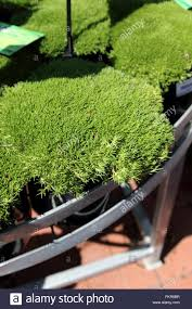australian native ground cover plants scleranthus biflorus or known as lime lava australian native