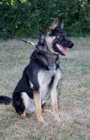 belgian shepherd 4 months lower price german belgian shepherd cross stone staffordshire