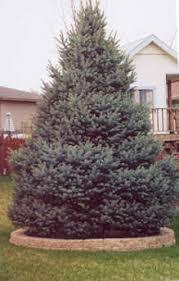 blue spruce trees omaha nebraska spruce trees arbor trees