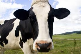 cows animals used for food animal facts peta kids