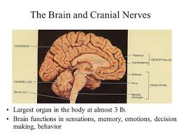 Gross Anatomy Of The Brain And Cranial Nerves Worksheet Brain U0026 Cranial Nerves Ppt Video Online Download