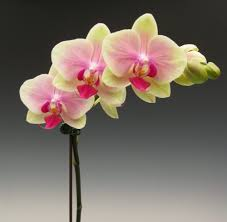 orchid flower delivery phalaenopsis jiaho kitty face rainbow yelp