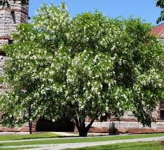yellowwood white wisteria like flowers clear yellow fall color