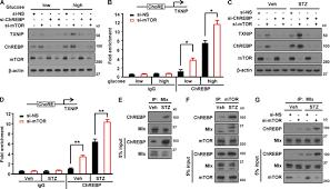mtor controls chrebp transcriptional activity and pancreatic β