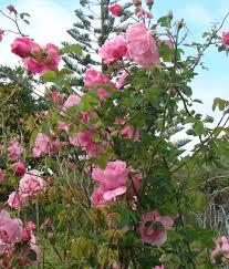 climbers u0026 ramblers grassroots rose nursery