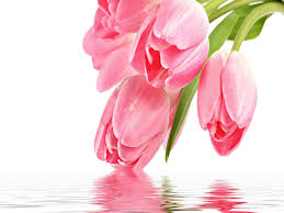 tulips flowers wallp yahoo india search results naresh tulip