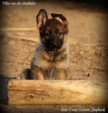 belgian sheepdog german shepherd mix dm free german shepherds german shepherd puppies german shepherd