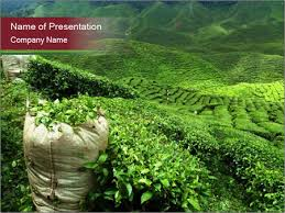 tea plantation in india powerpoint template u0026 backgrounds id