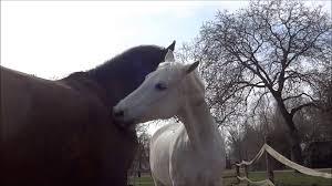 Nice Hourse Natural Horse Behaviour Mutual Grooming Very Nice Close Ups