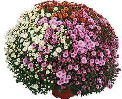 quality mums flowers chrysanthemums flowering plants henry f