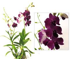 Dendrobium Orchid Learn U0026 Learn Orchid Gifts Orchid Gift Orchid Plants White