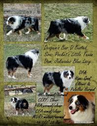 rockin d australian shepherds utah australian shepherd dog breeder buy a puppy breeders