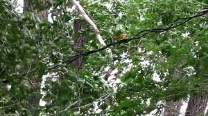 female oriole listens to male mating call part 1 youtube