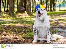 australian shepherd happy birthday dog wearing propeller beanie stock photo image 69163356
