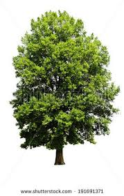 big tree isolated stock images royalty free images vectors