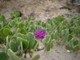 native plant restoration here u0027s what santa monica beach will look like after it u0027s