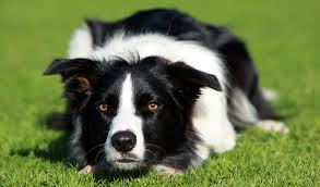bearded collie and border collie mix border collie dog breed information