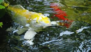 Catfish Backyard Pond by How Do Koi Fish Reproduce In Freshwater Ponds Sciencing