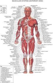 anatomy of blood vessels answers human anatomy chart