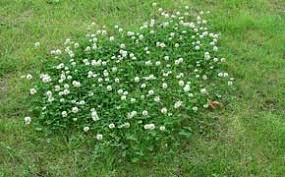 when white clover invades a lawn naturally it develops initially