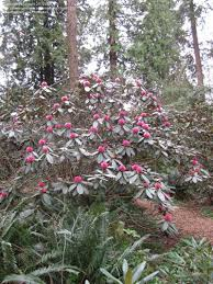 Botanical Gardens Ubc by Plantfiles Pictures Rhododendron Species Rhododendron Hodgsonii