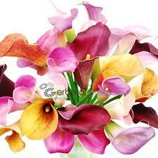 calla colors bulk flowers mixed mini calla lilies 8 10 size