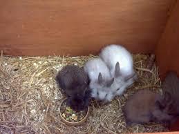 lion heads for sale baby lionhead rabbits for sale size central munster 1272485605
