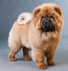 lion dogs chow chow dogs