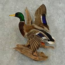 Mallard Duck Home Decor Mallard Duck Drake Bird Mount For Sale 16339 The Taxidermy Store