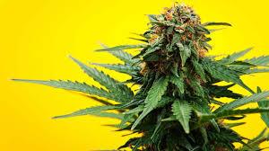 spiritual u0026 religious use of marijuana howcast the best how to