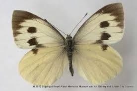 the madeiran large white butterfly is now extinct this