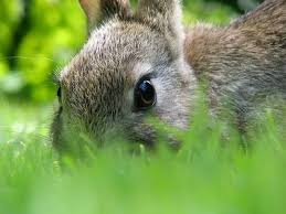 Rabbit Repellent For Gardens by How Do I Apply Cayenne Pepper To Keep Rabbits Away Cayenne
