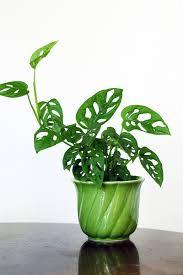 monstera obliqua photo by alicia sivertsson house plants
