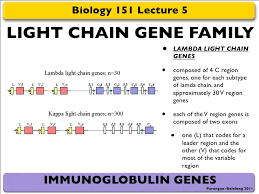 difference between kappa and lambda light chains bio 151 lec 5 and 6