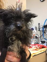 affenpinscher terrier mix indigo rescue adopt a rescued animal