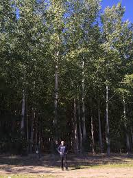are poplars the future of biofuels uw studies say yes uw