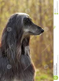 afghan hound dog images dog afghan hound in profile stock photo image 68092884