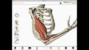 Shoulder And Arm Muscles Anatomy Elbow Flexion Shoulder Flexion And Forearm Supination Biceps
