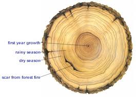 copy of tree ring drawing lessons tes teach